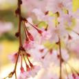 桜のうなじ