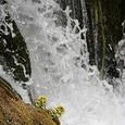 滝とふきのとう
